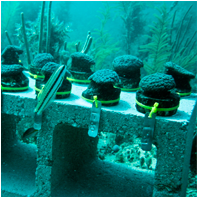 Coral Reef Restoration/CoralReefRestorationSm01.png