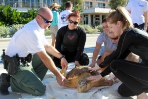 Rehabbed Turtles Returned to the Sea