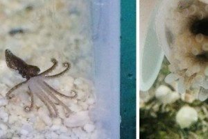 Octopuses in Viral Photo Have Babies