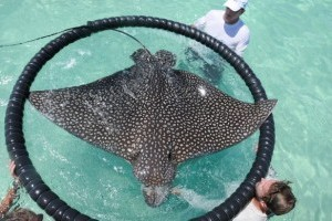 Spotted Eagle Ray Conservation