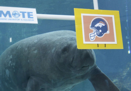 clientuploads/4fridaynews/Manatee_Buffett_chooses_Broncos_SMALL4WEB.jpg