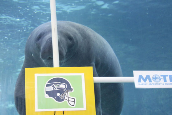 clientuploads/4fridaynews/Manatee_Hugh_chooses_Seahawks_SMALL4WEB.jpg