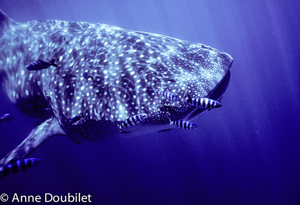 clientuploads/Enews_Nov2013/BAJA-whaleshark-head-with-pilotfish_AnneDoubilet.png