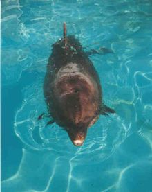 dolphin named belle swimming