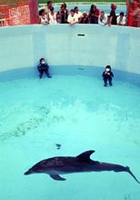 benny the dolphin in a pool with divers