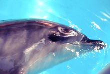 benny the dolphin swimming