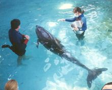 benny the dolphin in a pool with trainers