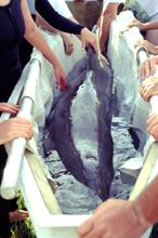 injured dolphin being carried by group of people