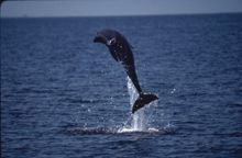 bottlenose dolphin jumping out of the water