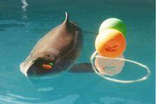 pygmy sperm whale swimming