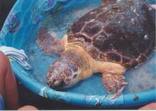 sea turtle in a kiddie pool