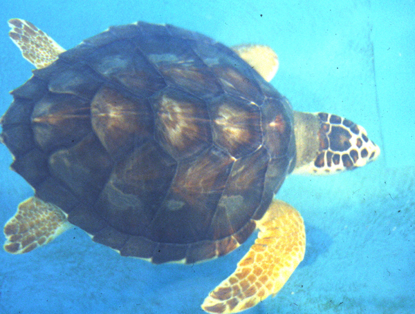 dorsal view of a sea turtle named hoover swimming
