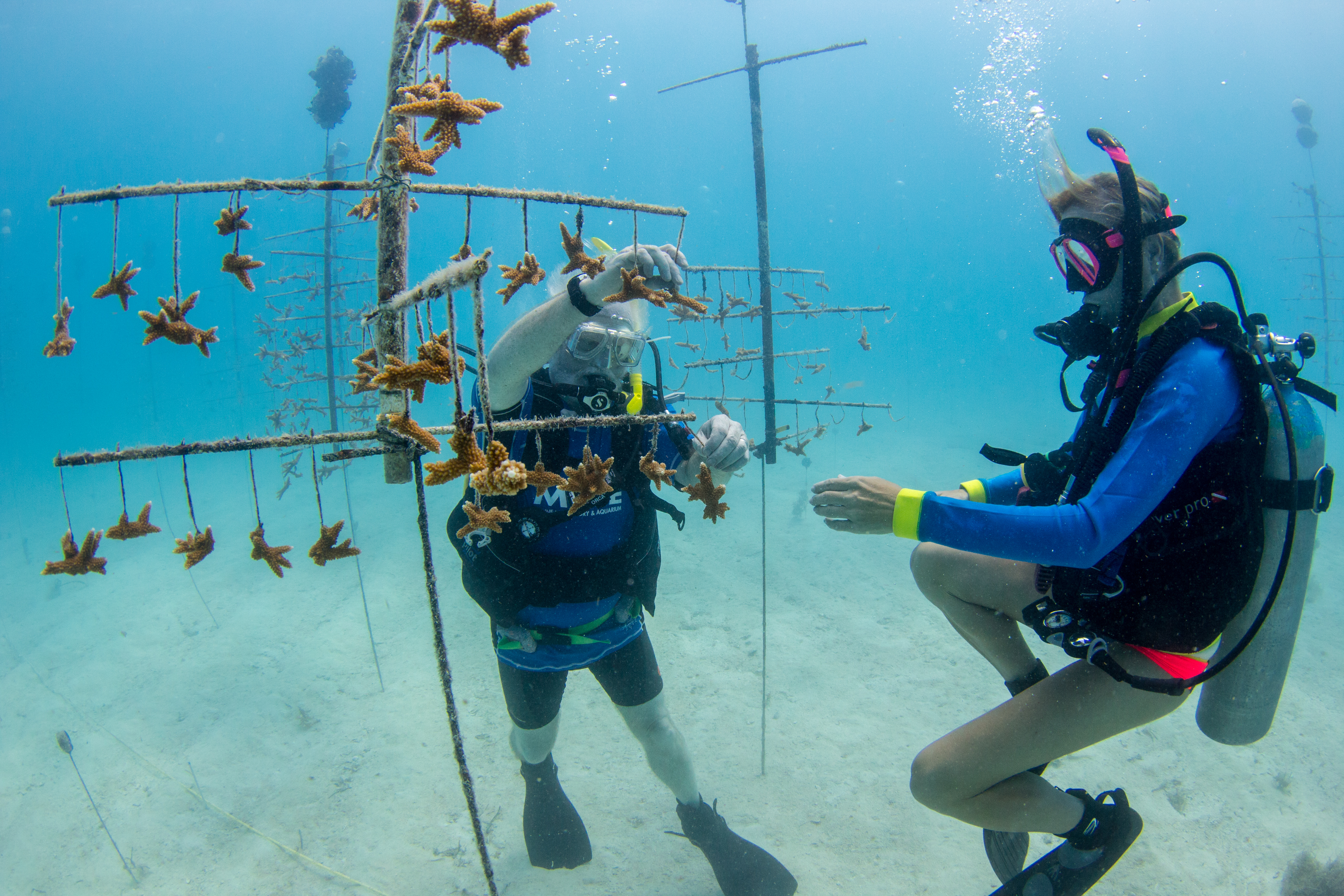 Divers visit a coral tree in Mote's underwater nursery. The tree is a PVC structure that holds coral fragments being grown for restoration.