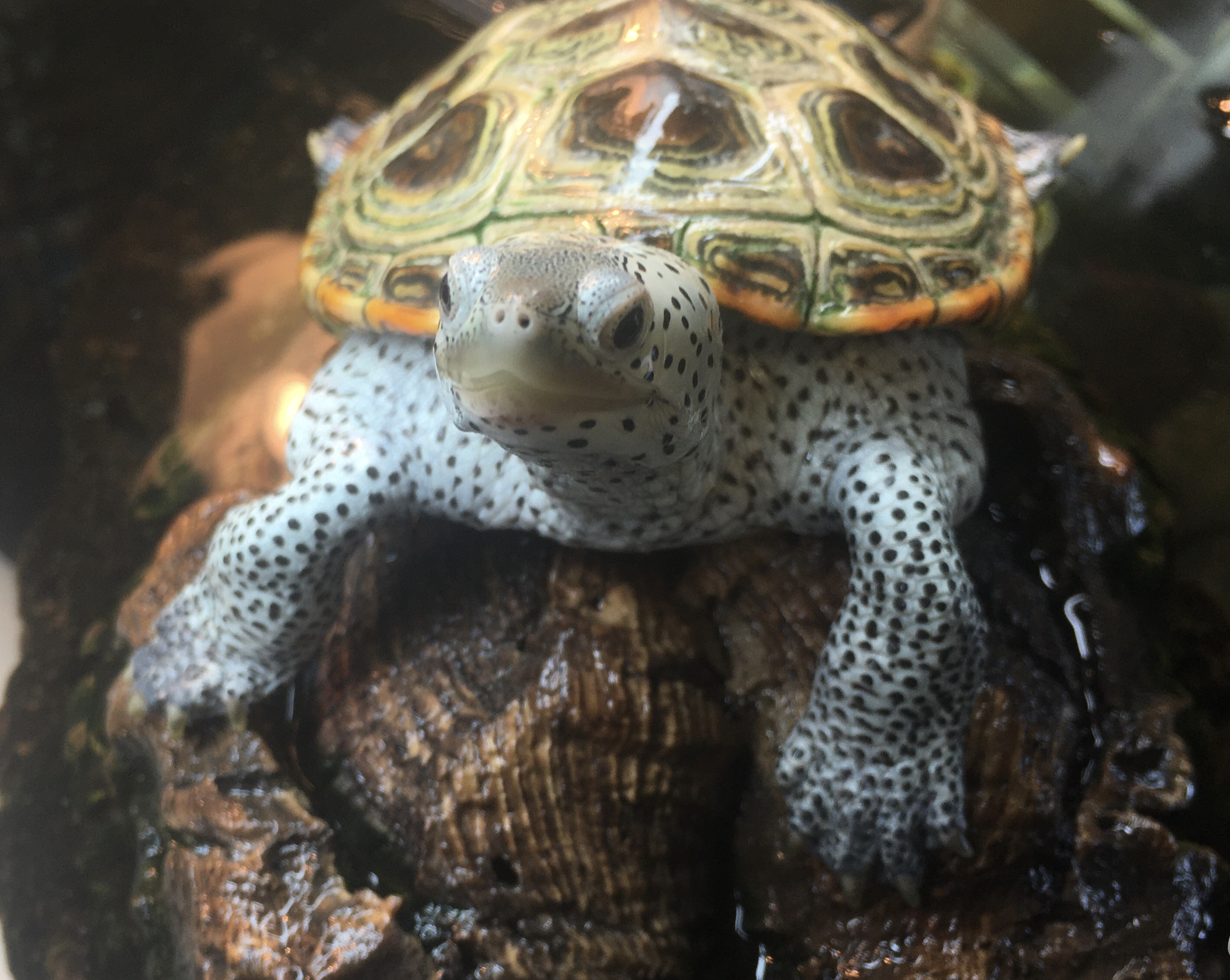 A juvenile terrapin turtle looks at the camera.