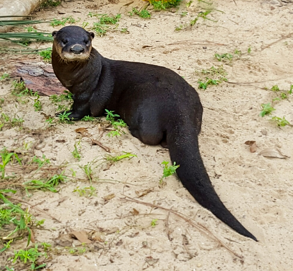 What does a river otter look like  Answerscom