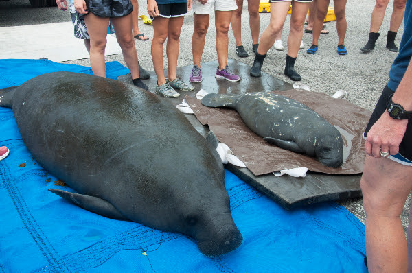 Mother And Baby Manatee Released To Sarasota Bay News