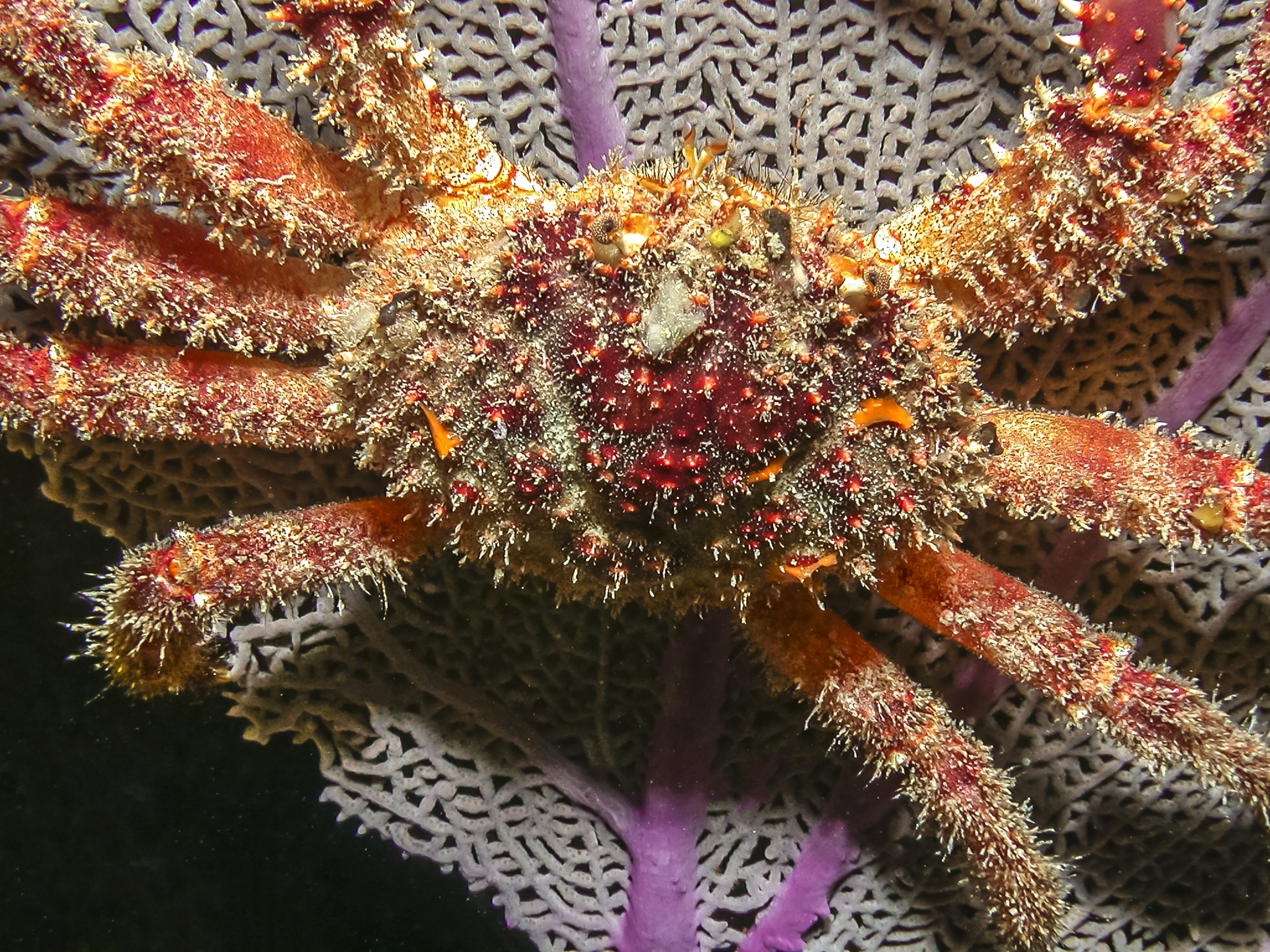 A large Caribbean king crab. Photo by John Anderson/Adobe Stock.