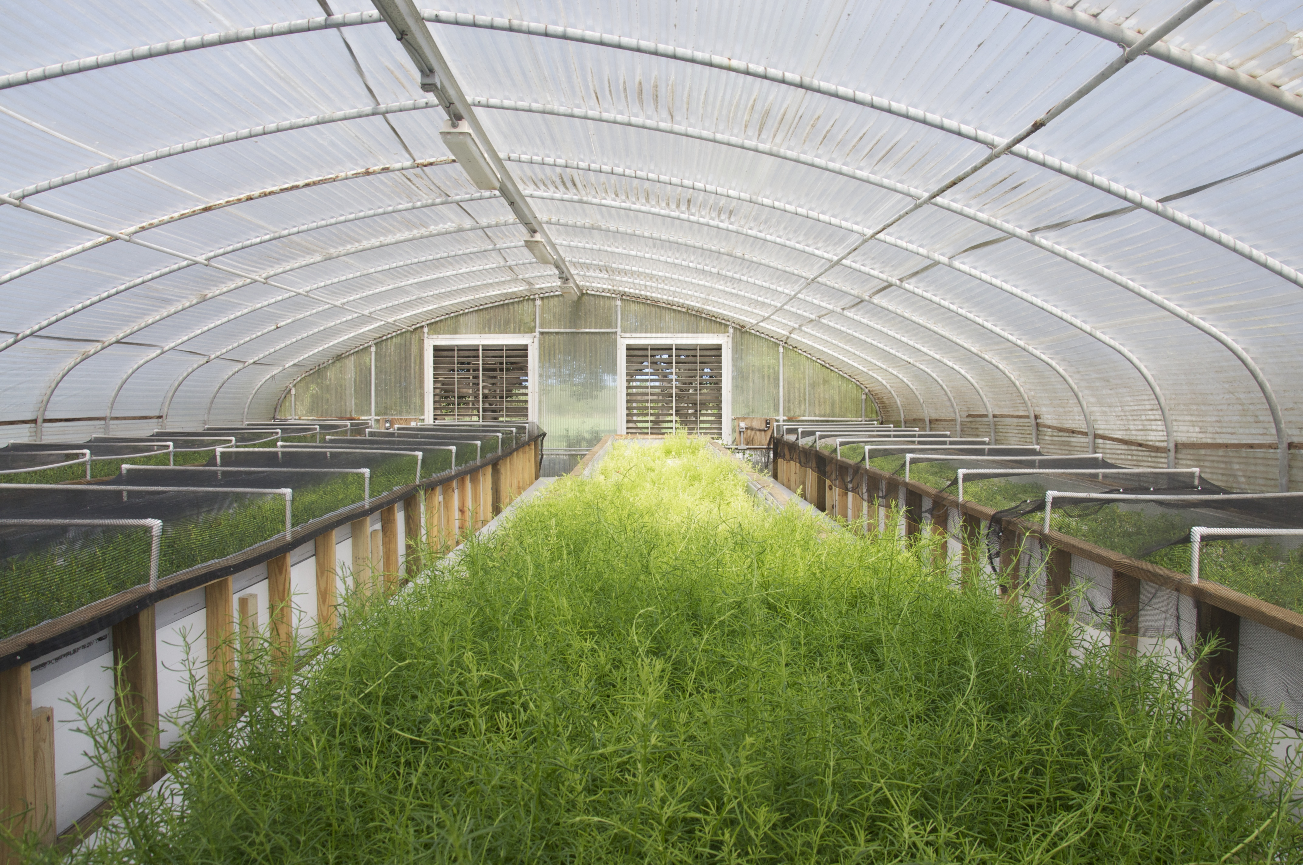 Aquaponic fish and veggies make their dinner table debut