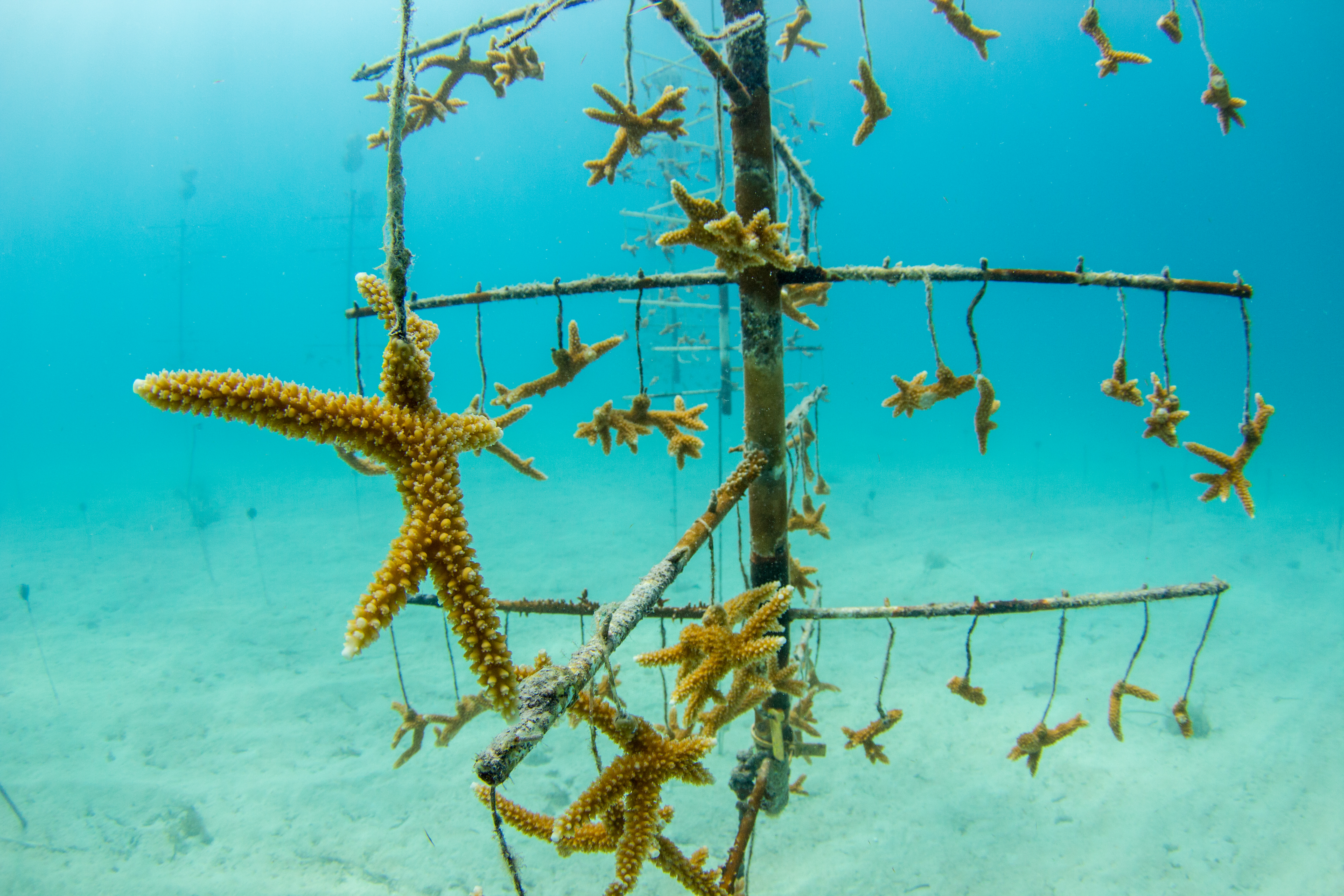 mote led initiative will restore resilient corals across 130 acres