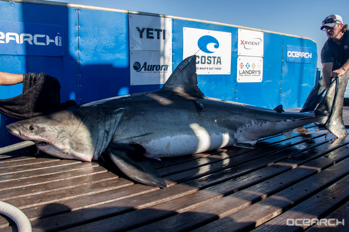 track miss costa  the newly tagged ocearch great white