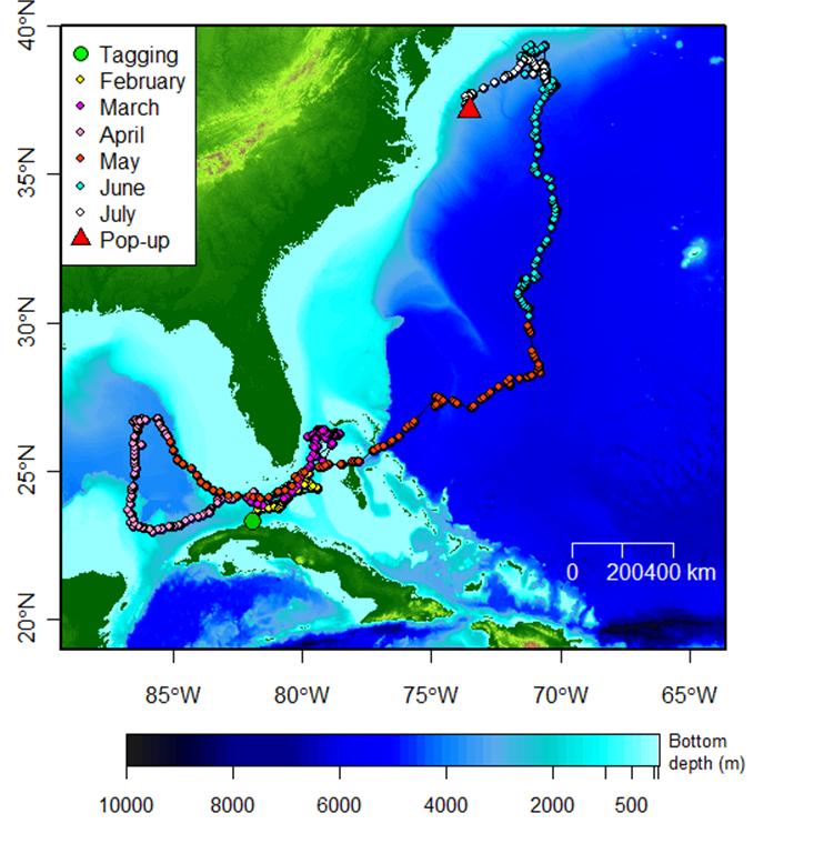 Maximum Likelihood Track Of The Longfin Mako Shark Tagged By The U S Cuban Team In February 2015 Off The North Coast Of Cuba