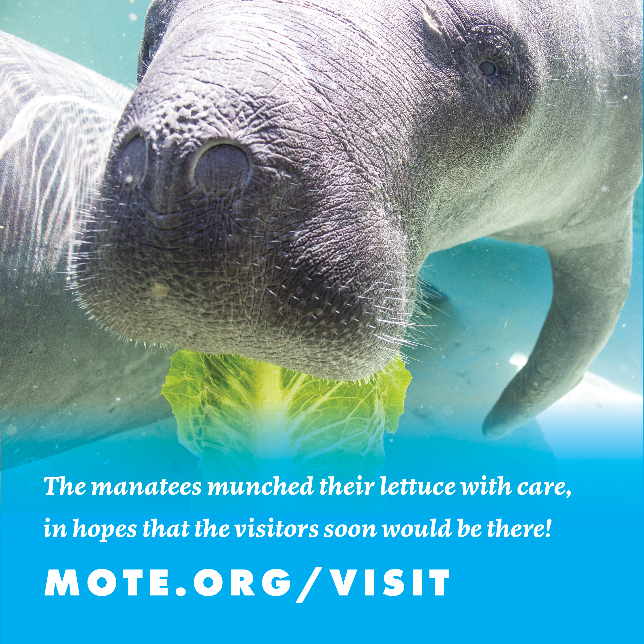 Picture of a manatee at Mote with the text overlaid: