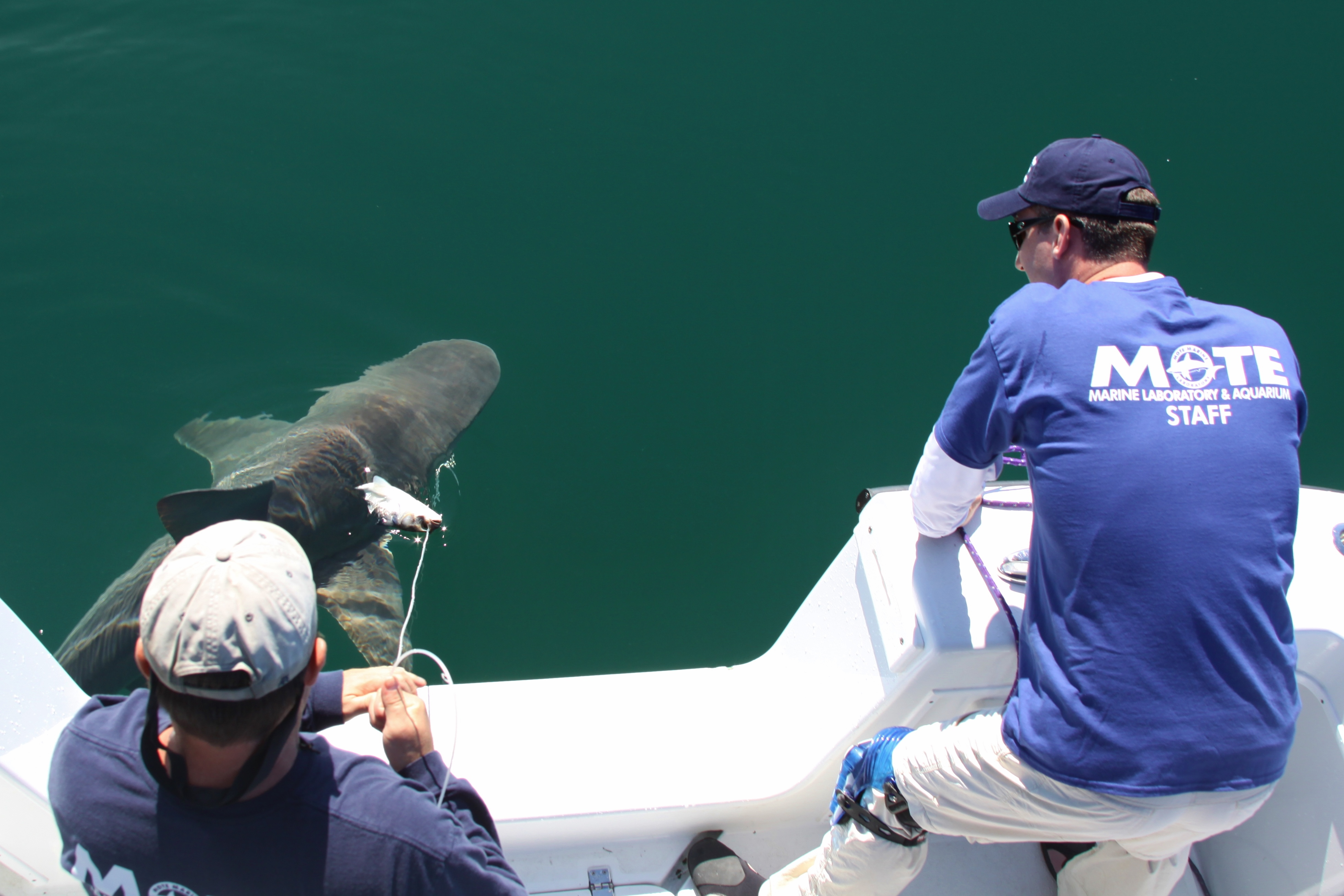 0fc29a5f80328a Dr. Nick Whitney and Jack Morris of Mote prepare to tag a sandbar shark with