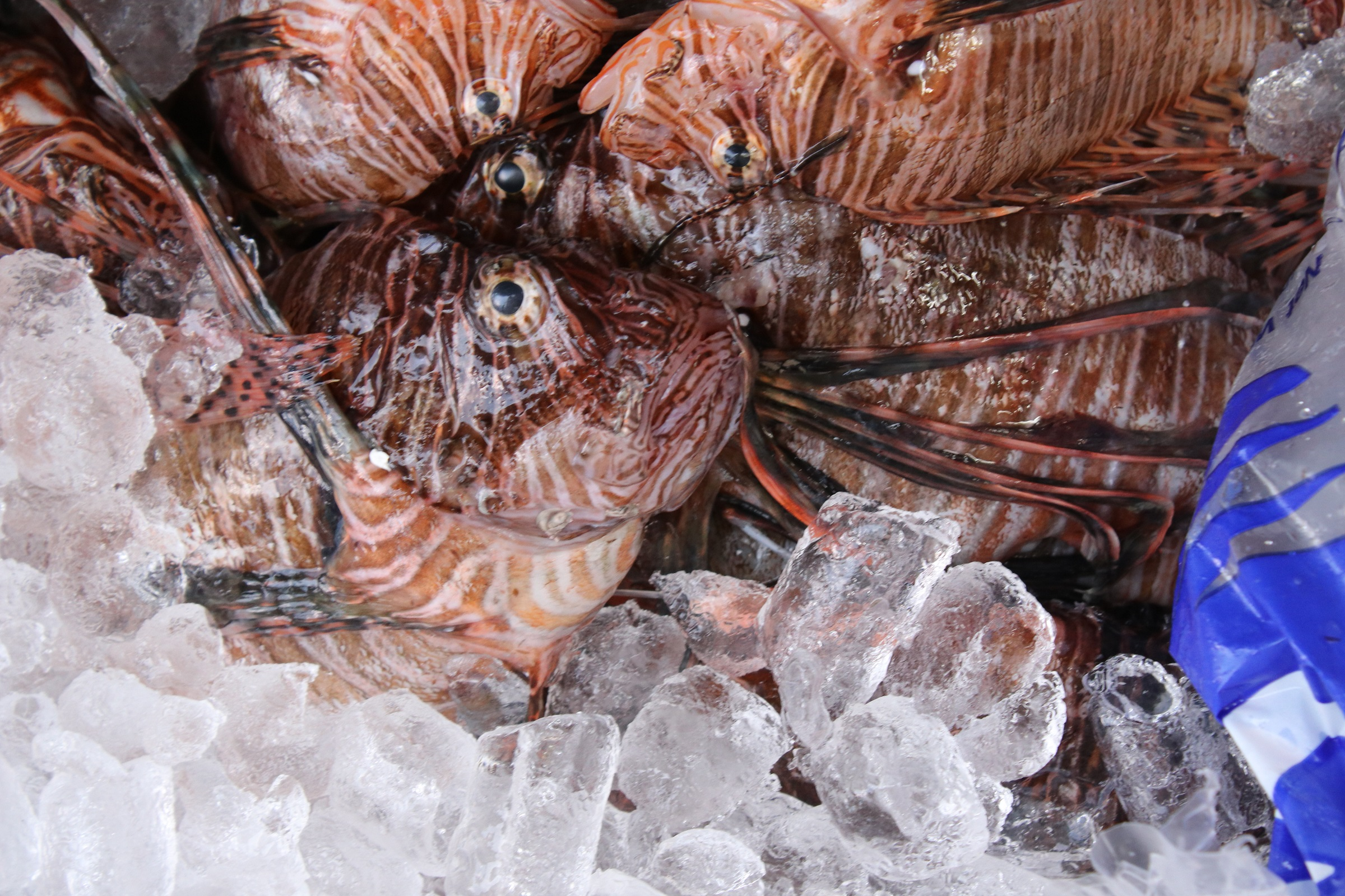Lionfish Caught During The Fifth Annual Sarasota Derby Credit Madi O Neill