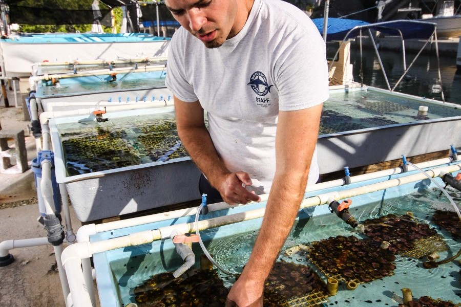 Mote staff biologist Chris Page works with reef-building corals in a land-based nursery. Credit: Mote Marine Laboratory