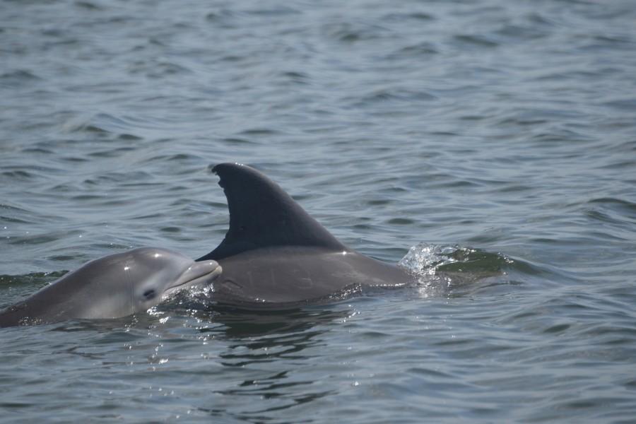 Photo credit: Sarasota Dolphin Research Program. Taken under NMFS permit No. 15443.