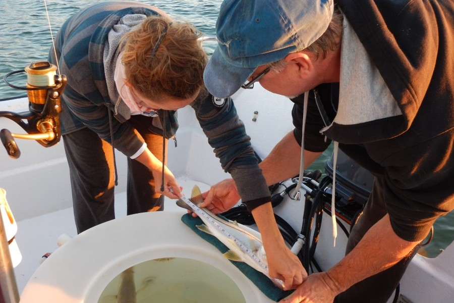 Jennifer Castilow and Dr. Nate Brennan of Mote Marine Laboratory measure a snook. Credit Cheri Tardif.