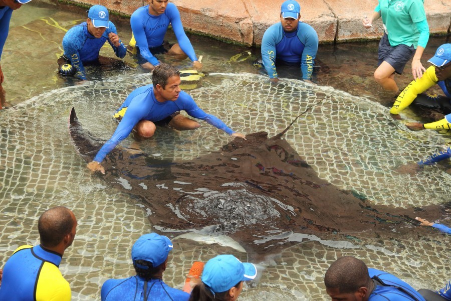 Manta ray Leyley is prepared for tagging and release. Credit: BVS Bahamas for Atlantis, Paradise Island