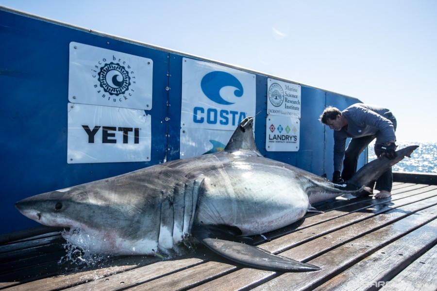 A white shark, nicknamed 'Nova', aboard the M/V OCEARCH during a tag-release expedition off the coast of Nova Scotia