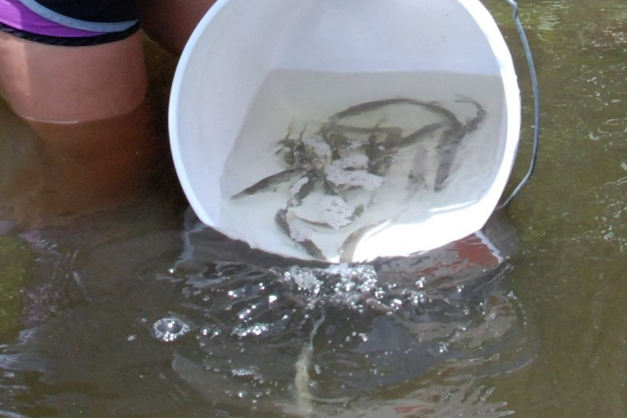 Photo: Snook are released into Ainger Creek through a project by Mote, CCA and FWC. Credit: Mote Marine Laboratory