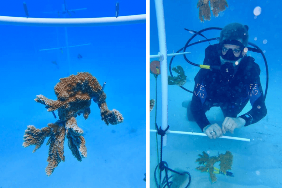 Mote scientists set up their underwater, elkhorn coral spawning nursery. Credit: Dr. Hanna Koch/Mote Marine Laboratory