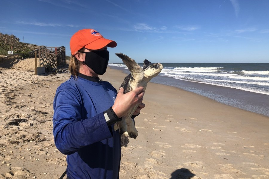 A Kemp's ridley sea turtle is released on Florida's east coast after recovering in Mote's care. Credit: Mote Marine Laboratory