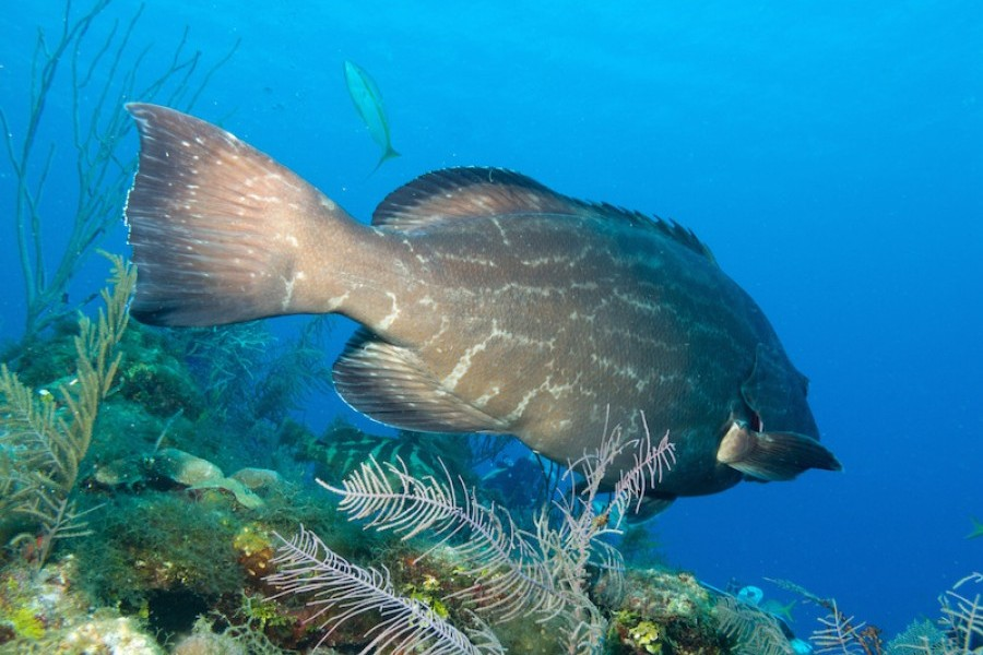 Mote scientist identifies first U.S. black grouper spawning site