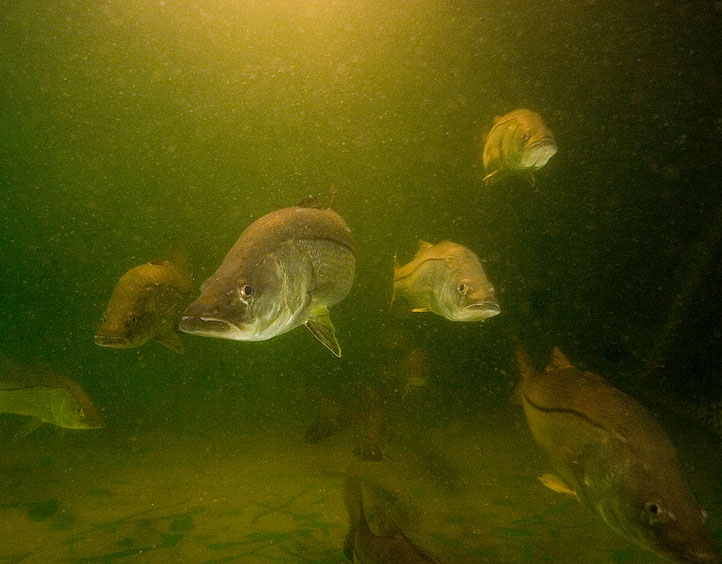 Mote Asks Local Anglers to Help Gather Vital Snook Data