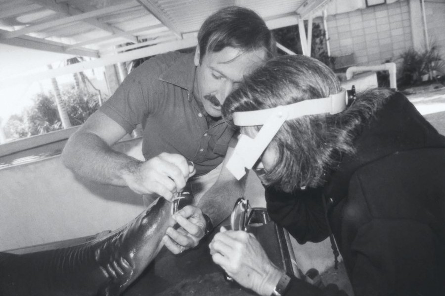 Dr. Carl Luer examines a shark with Mote founder Dr. Eugenie Clark during his early years in marine biomedical research.