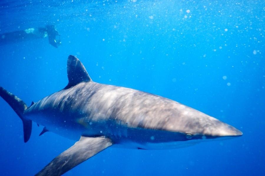 Silky shark. Credit: Mote Marine Laboratory