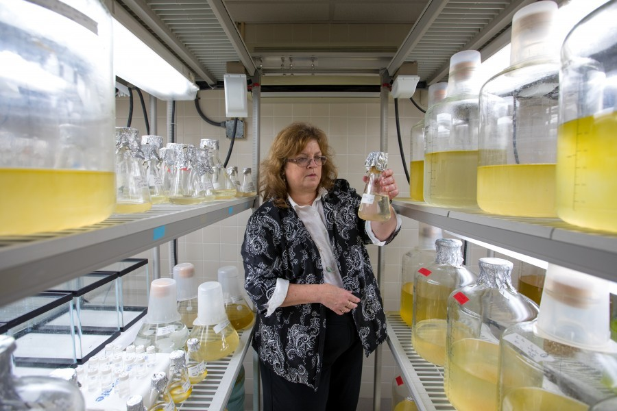 Photo: Dr. Cindy Heil in the phytoplankton culture lab at Mote Marine Laboratory. Credit: Mote