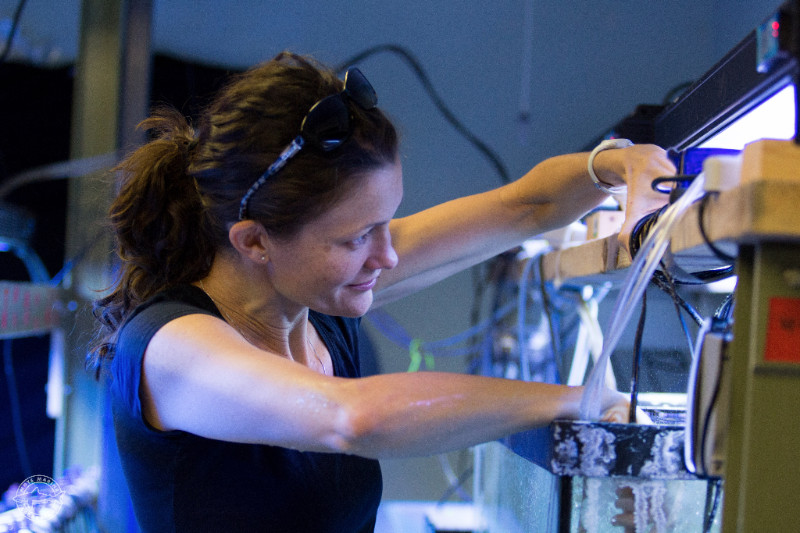 Dr. Emily Hall studies how Aiptasia sea anemones respond to acidified water and increased temperature. (Credit Mote Marine Lab)