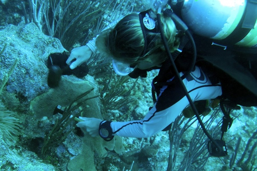 Mote Staff Scientist Dr. Erinn Muller chisels a firebreak around yellow-band coral disease. Credit: Dr. Carly Randall