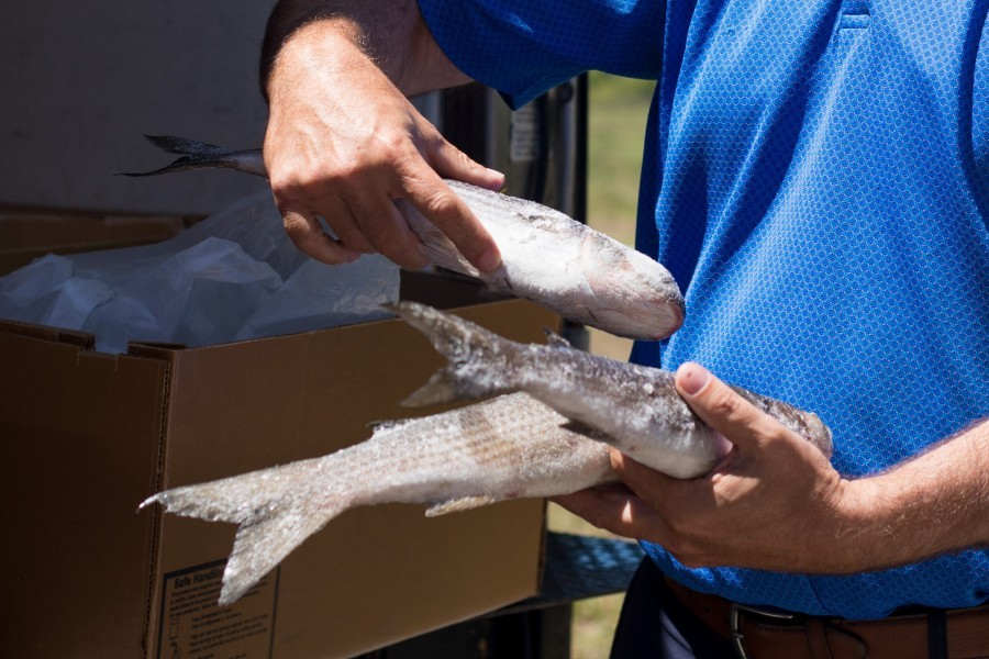 Photo: Frozen mullet utilized in a sustainable seafood study at Mote Aquaculture Research Park. Credit: Mote Marine Laboratory