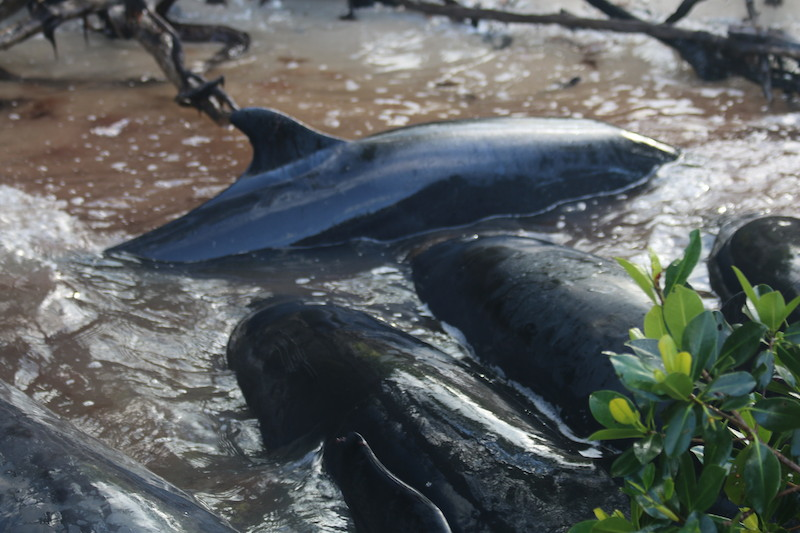 Mote and Partners Respond to 95 False Killer Whales Stranding off South Florida