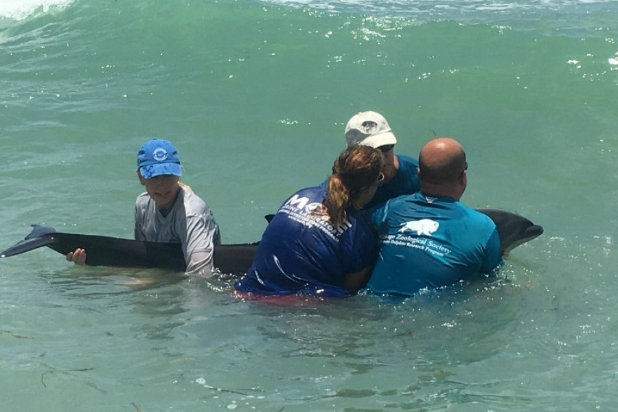 Mote's staff assisted by the Sarasota Dolphin Research Program (SDRP) and FWC attempt to reintroduce a stranded dolphin.