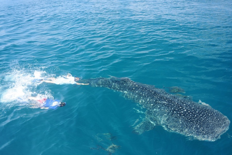 Mote scientists work to place a scientific tag on a whale shark in the Gulf of Mexico. Credit Kim Bassos-Hull/Mote Marine Lab