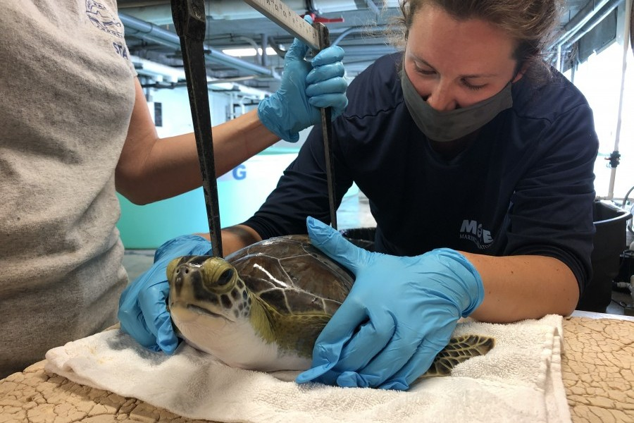 A green sea turtle is measured prior to release