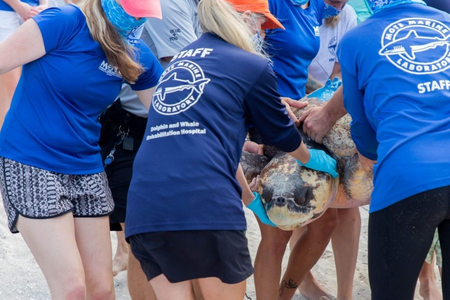 Photo: A rehabilitated sea turtle is released by Mote Marine Laboratory staff.