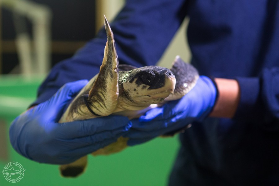 The majority of sea turtle patients brought to Mote from New England are Kemp's ridleys: the smallest sea turtle species